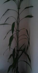 lange plant