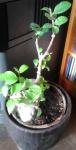 plant nico