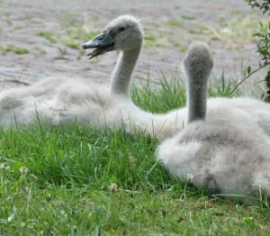 2 jonge zwaantjes