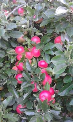 H.appels