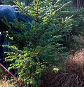 kerstboom-zagen