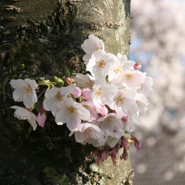 bloesem aan de boom