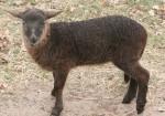 zwart lam