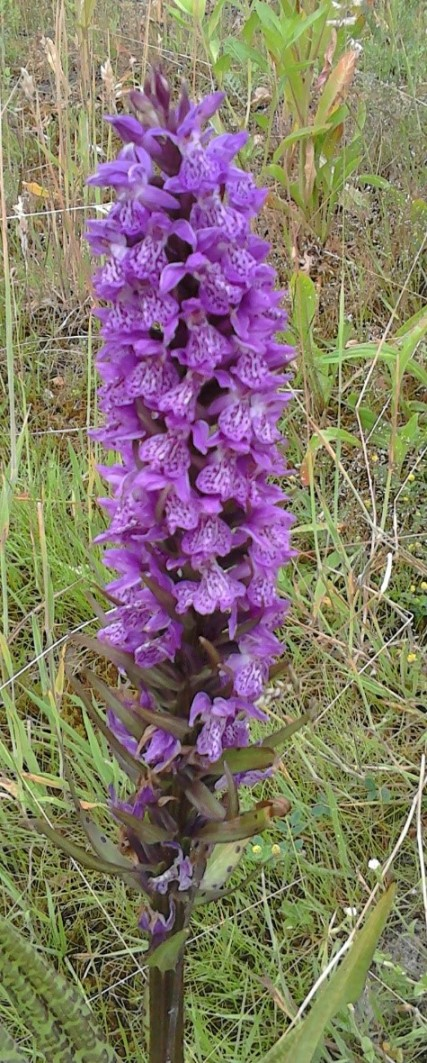 closu up wilde orchis