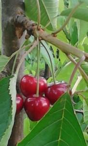 kersenn aan boom