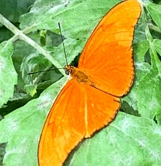 vlinder8
