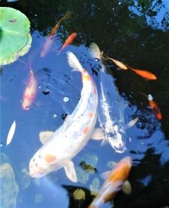 vijvervissen (2)